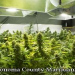 Illegal Sonoma County Marijuana Grow Causes $102,000 in Damages