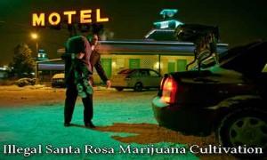 illegal santa rosa marijuana cultivation, marijuana cultivation