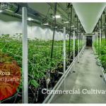 Commercial Cultivation – Medical Marijuana – City of Santa Rosa