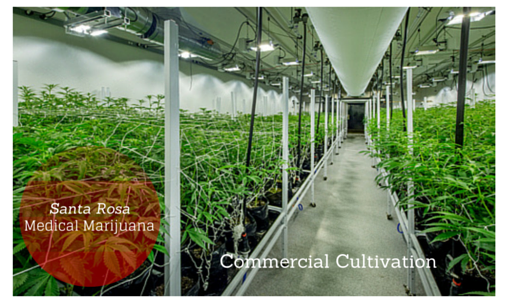 commercial cultivation, medical marijuana